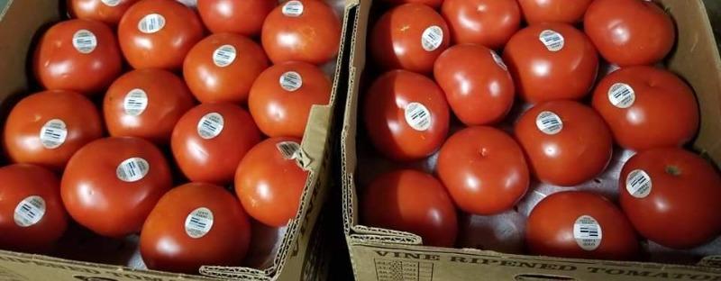 Tomato (Large)